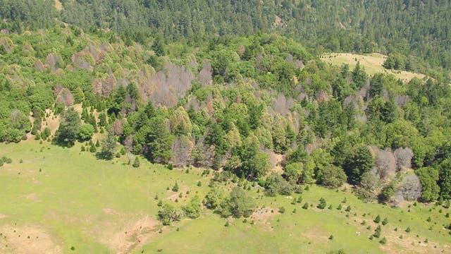 Eichensterben im Sonoma County, Kalifornien