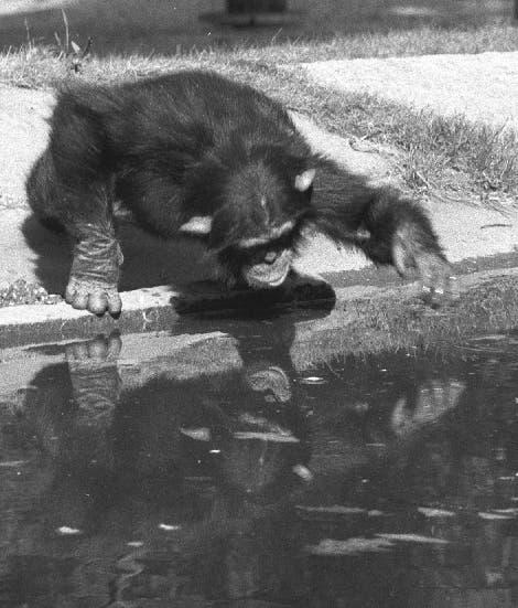 Schimpanse am Wasser