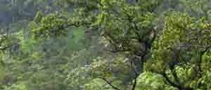 Ohia-Wald