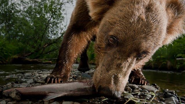 Braunbären haben Lachse zum Fressen gern