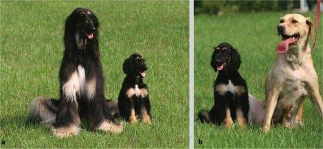Snuppy, der erste Klonhund?