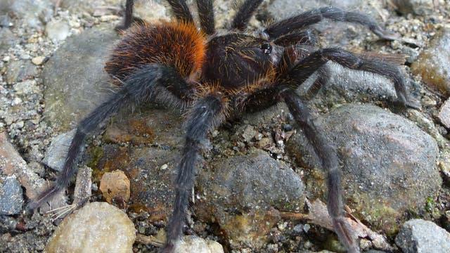 Kankuamo - eine neue Vogelspinne aus Kolumbien fasziniert mit giftigen Haarspeeren