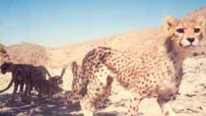 Lebenszeichen vom asiatischen Gepard