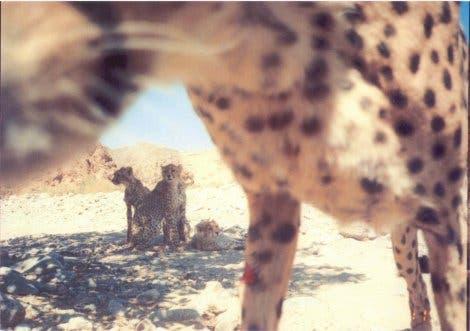 Asiatische Gepardenfamilie