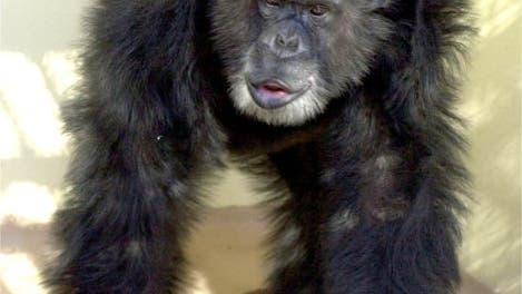 Schimpanse Clint