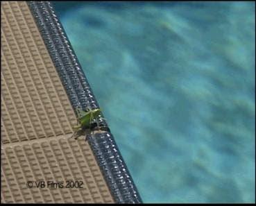 Eine Eichenschrecke am Swimming-Pool