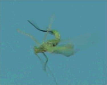 Ein Saitenwurm windet sich aus seinem Wirt