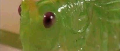 Kopf einer Eichenschrecke (<i>Meconema thalassinum</i>)