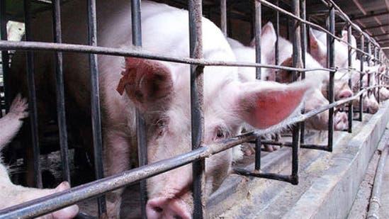Chinesischer Schweinezuchtbetrieb