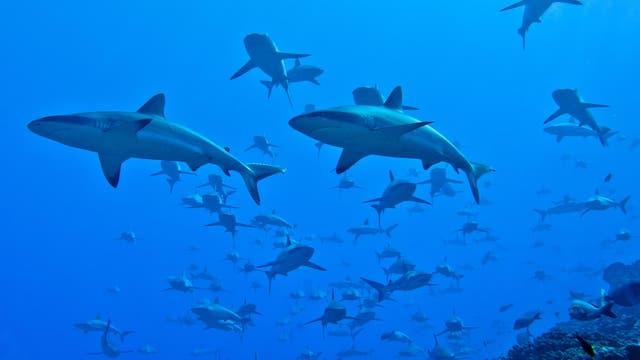 Graue Riffhaie am Fakarava-Atoll in Französisch-Polynesien