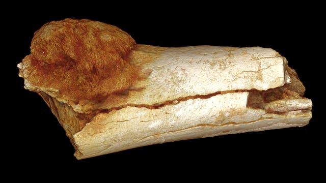 Fossiler Knochenkrebs