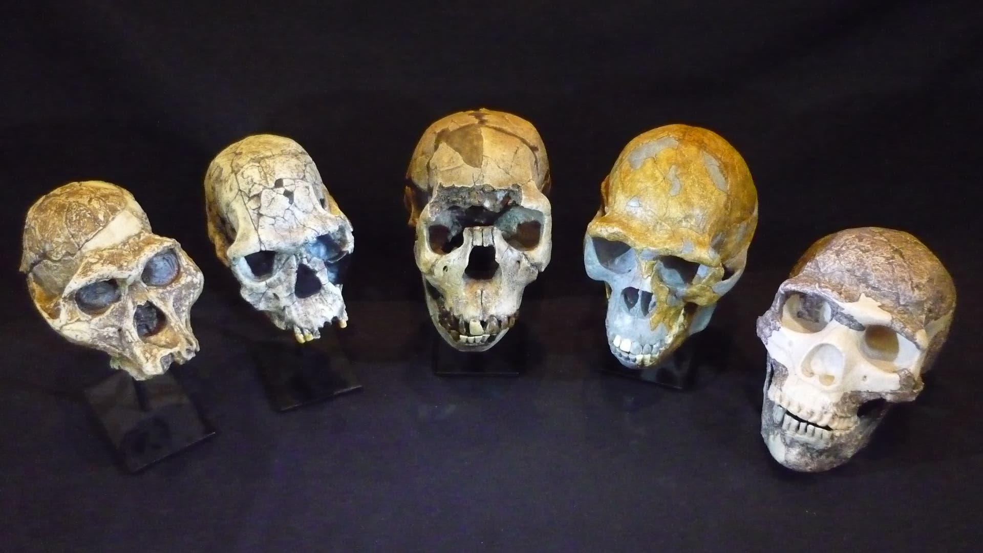 Schädel verschiedener Menschenarten im Vergleich
