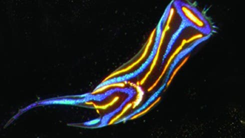 Die Nacktschnecke <i>Chelidonura hirudinina</i>