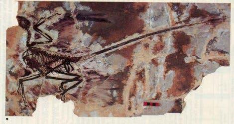 <i>Microraptor</i>-Fossil