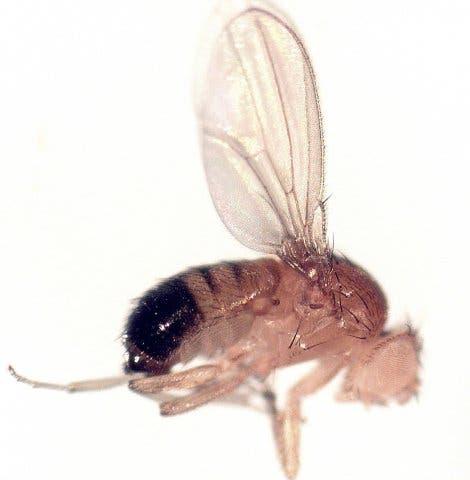 <i>Drosophila melanogaster</i>