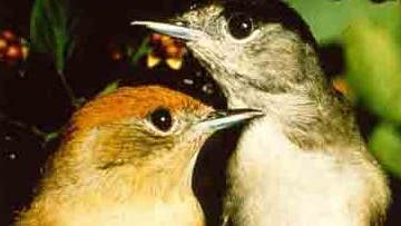 Mönchsgrasmücken-Paar