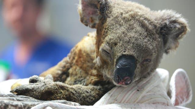 Verwundeter Koala im Port Macquarie Koala Hospital