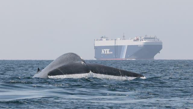 Ein Blauwal taucht ab, während in der Nähe ein Frachter kreuzt