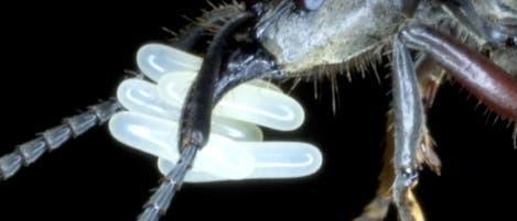 Königin der Art <i>Pachycondyla villosa</i>