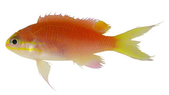 Tosanoides obama - ein Fisch aus Hawaii