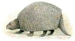 <i>Parapropalaehoplophorus septentrionalis</i>