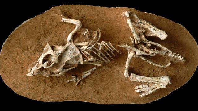 Fossil eines frisch geschlüpften Protoceratops andrewsi