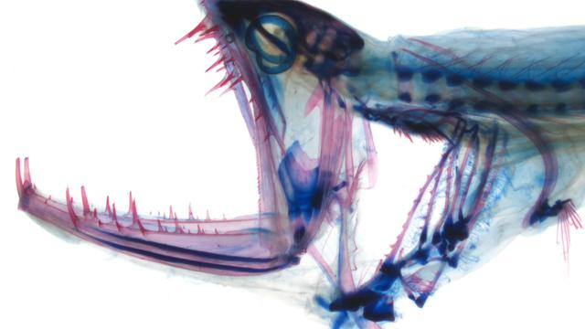 Tiefseefisch