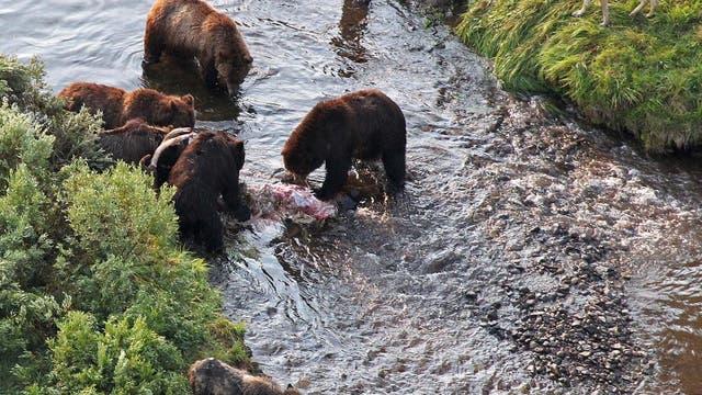 Während Bären speisen, liegen Wölfe auf der Lauer