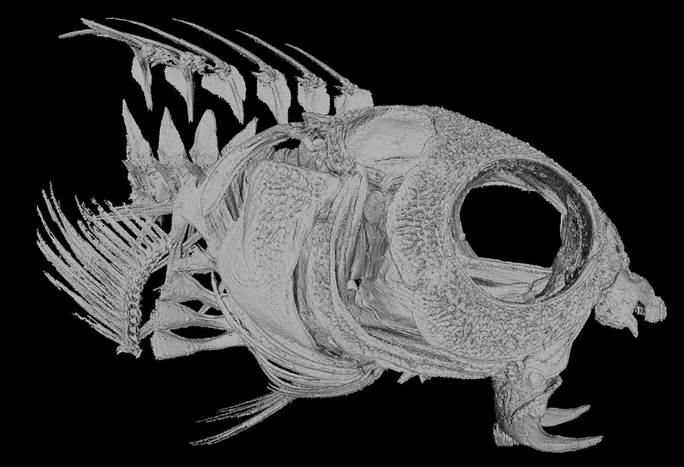 Dreidimensionale Darstellung des Kopfskelett des Fisches.