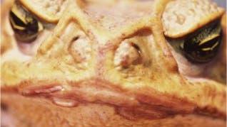 Erdkröte (<i>Bufo bufo</i>)