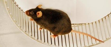 Rennende Maus