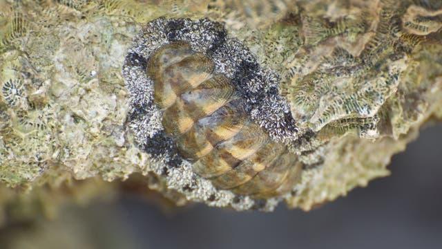 Tropische Käferschnecke, Acanthopleura granulata