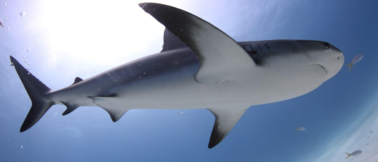 Requiemhaie schwammen vor Millionen Jahren in Amazonien