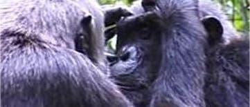 Sich lausende Schimpansen