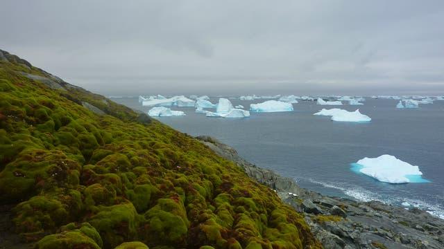 Moospolster in der Antarktis