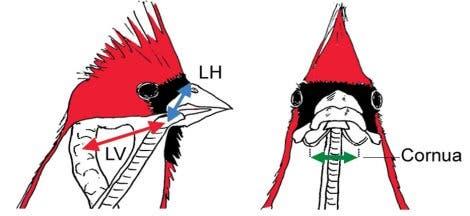 Kehlkopfbewegungen beim Kardinal