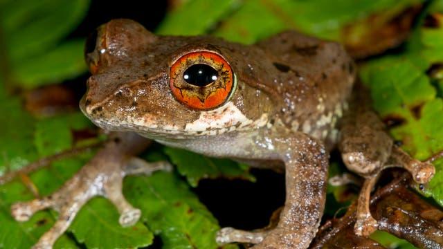 Baumfrosch aus Madagaskar