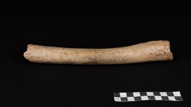 Dieser Oberschenkelknochen eines Neandertalers aus der Hohlenstein-Stadel-Höhle ist rund 125 000 Jahre alt. In ihm aufgespürte DNA-Sequenzen belegen Kontakte der Neandertaler mit dem frühen Homo sapiens.