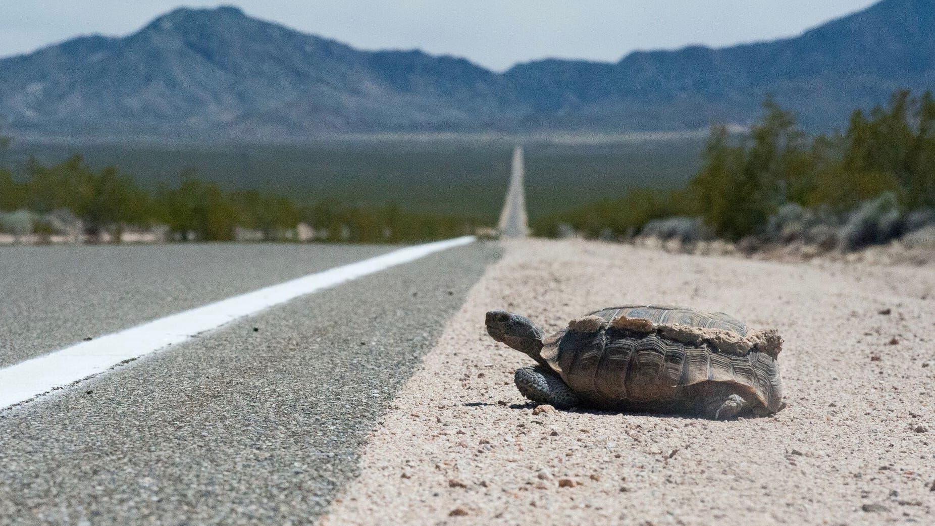 Kalifornische Gopherschildkröte