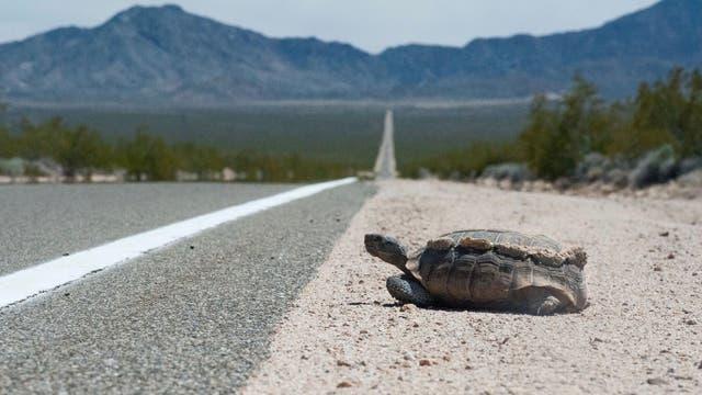 Kalifornische Gopherschildkröte am Straßenrand