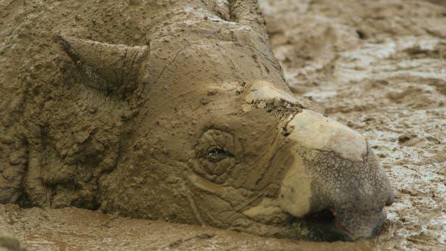 Das Sumatranashorn Ipuh lässt traurig den Kopf hängen