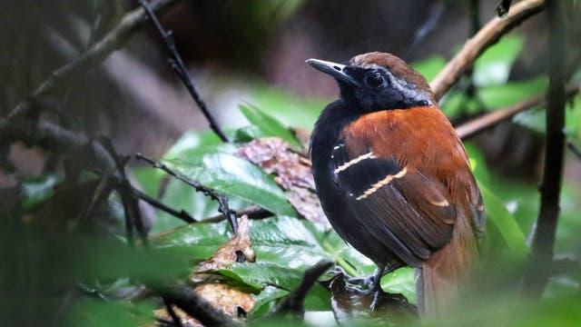 Cordillera-Azul-Ameisenvogel