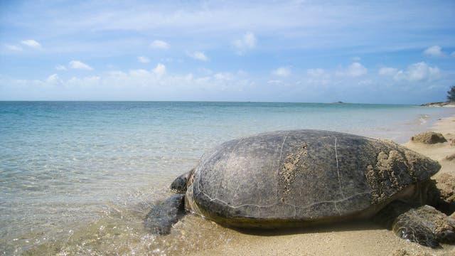 Eine Suppenschildkröte auf dem Weg ins Wasser