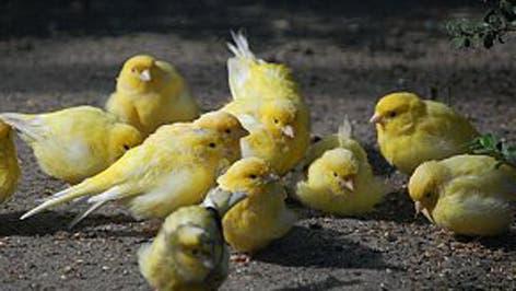 Kanarienvögel quadrat
