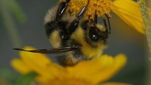 Honigbiene beim Mahl