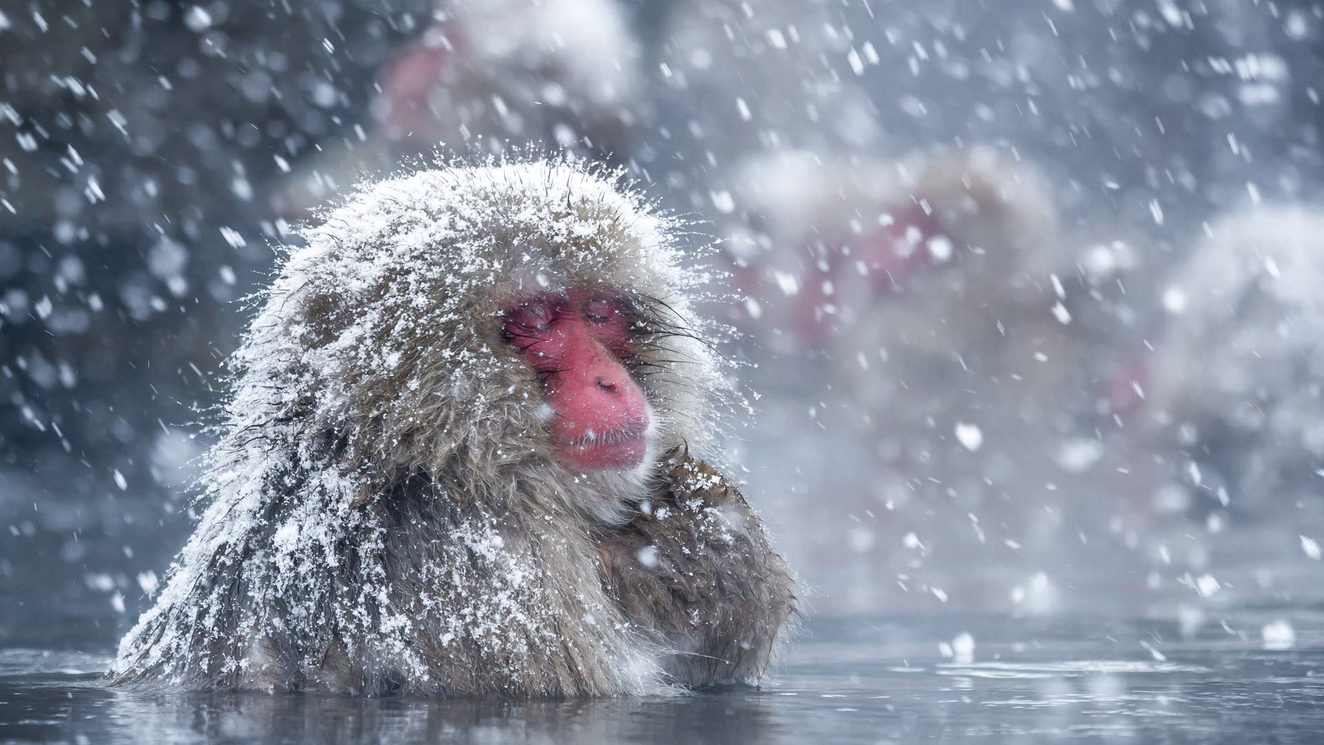 Ein Japanmakak bei Schnee in heißer Quelle