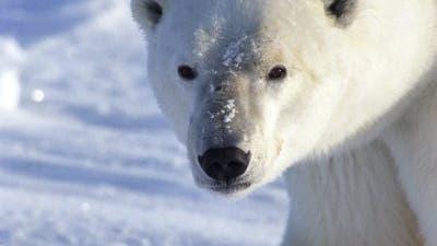Trauriger Neueinsteiger: der Eisbär