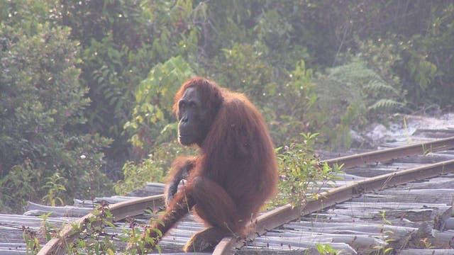 Orang-Utan auf Holzfällergleisen