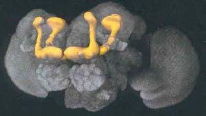 Pilzkörper (gelb)  im Taufliegenhirn