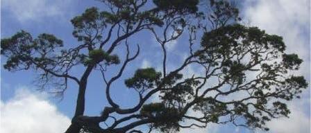 Koa-Baum